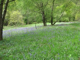 Bluebells in St Julian's Park